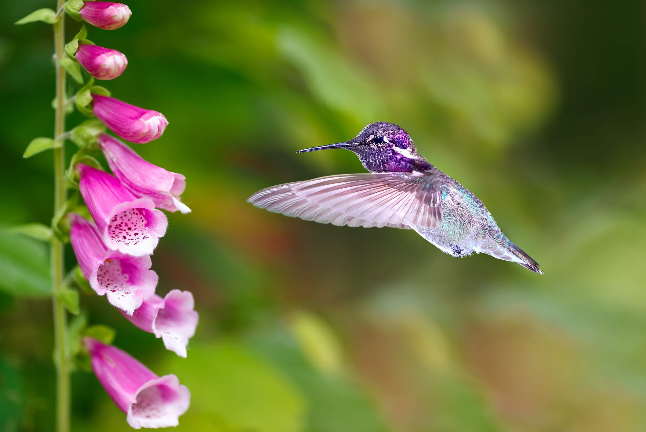 Pink foxglove plant approached by hummingbird.