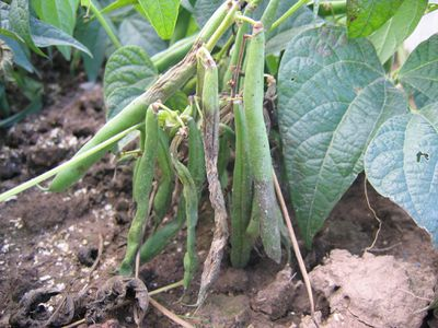 Phytophthora blight (Phytophthora capsici) infecting green beans
