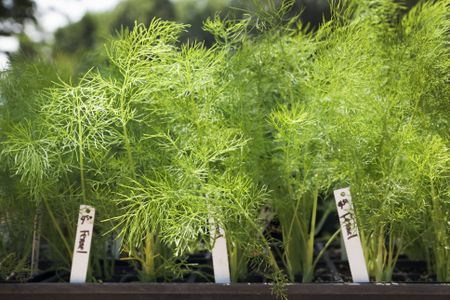 how to grow organic fennel in your garden