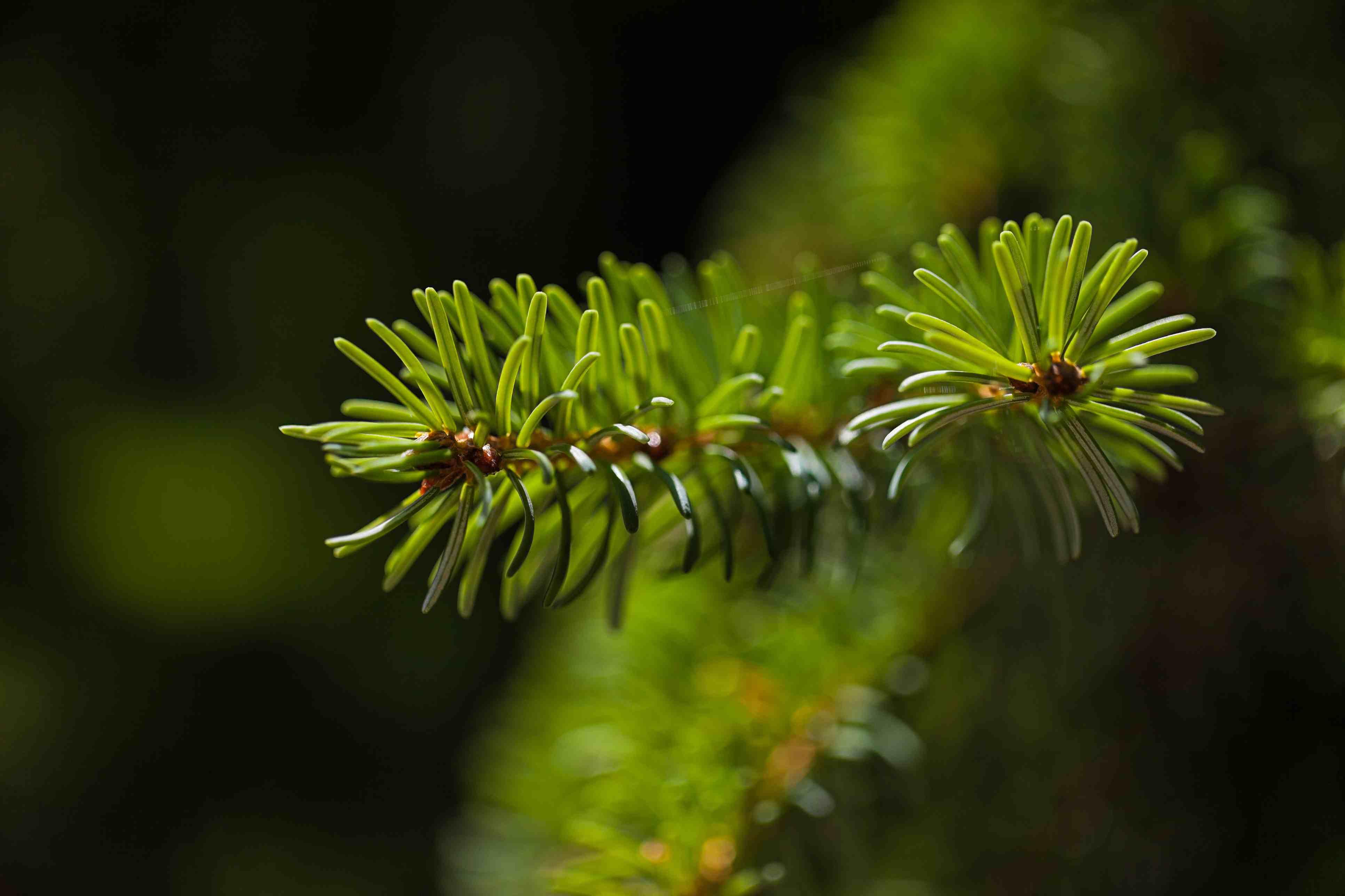 Picea serbia
