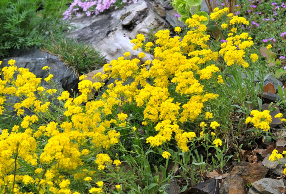 Yellow alyssum flowers in drought tolerant garden