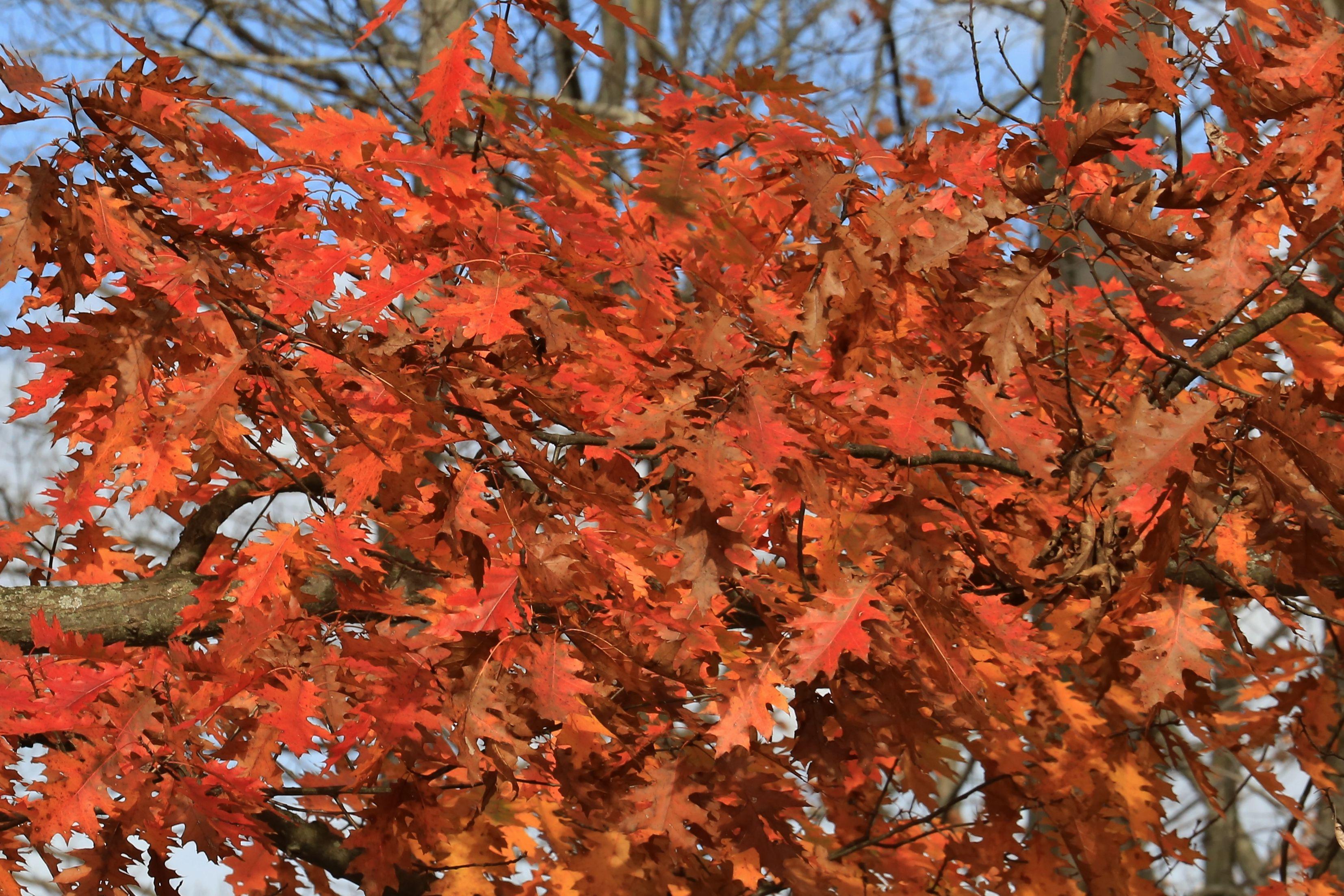 Grow Red Oak Trees for Late Fall Foliage