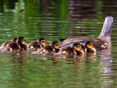 mother and ducklings