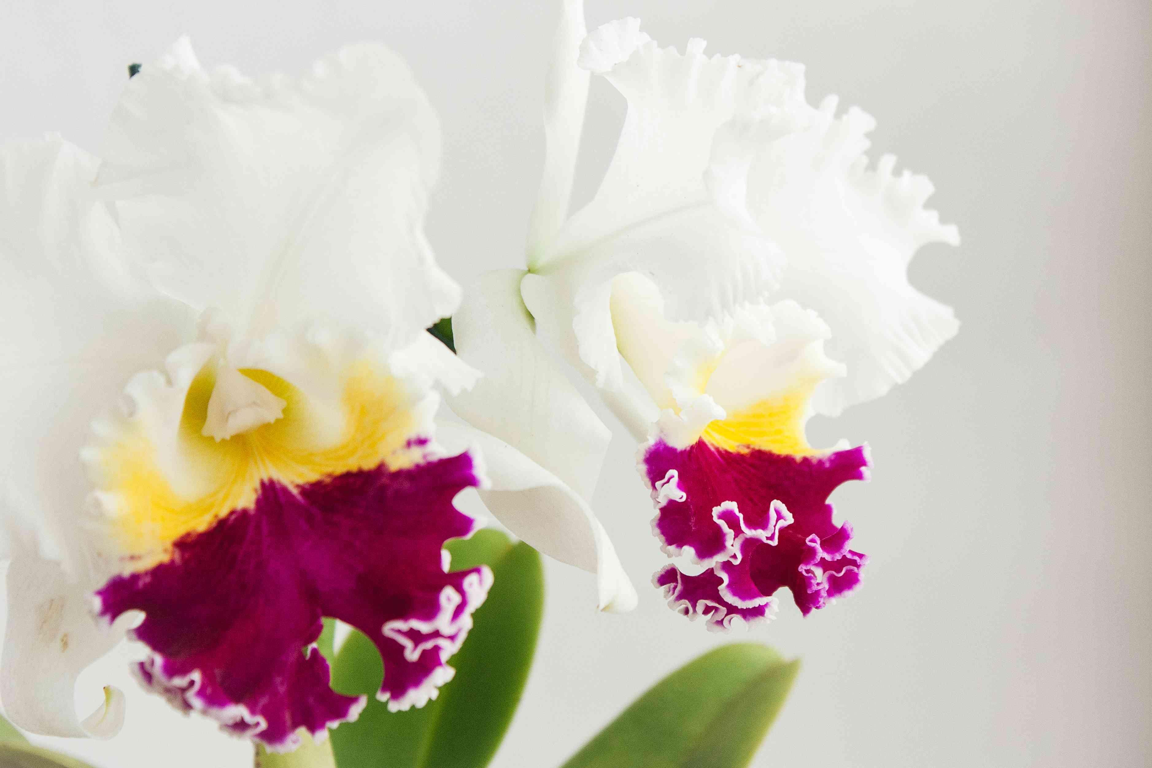 closeup of cattleya orchids