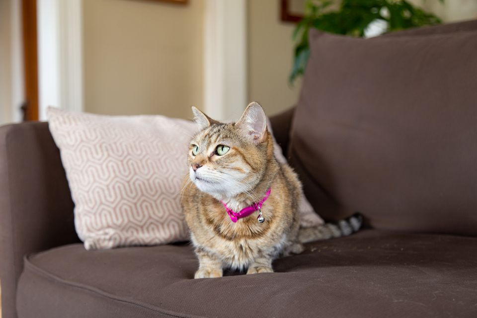 Tan and white cat with pink collar sitting on brown fabric couch