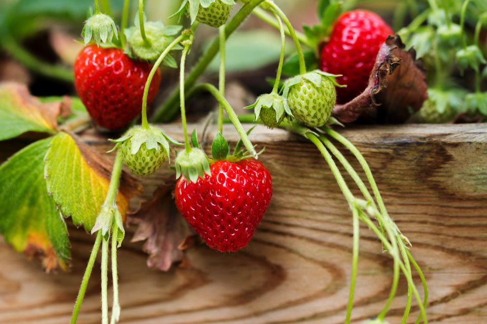 Growing Strawberries From Seed