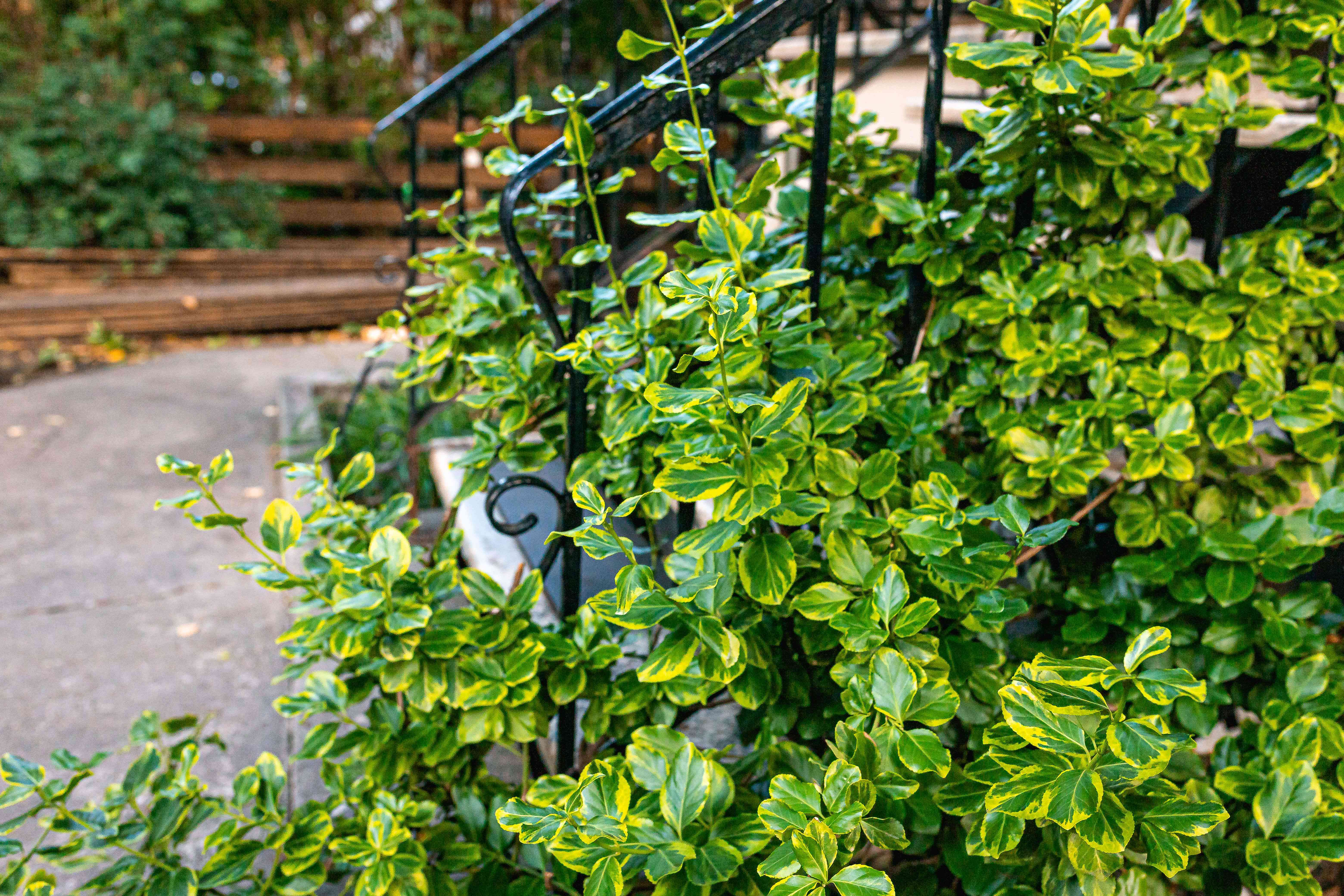 'Emerald 'n' Gold' wintercreeper shrub with yellow leaves with green-centered leaves on side of metal stair rail