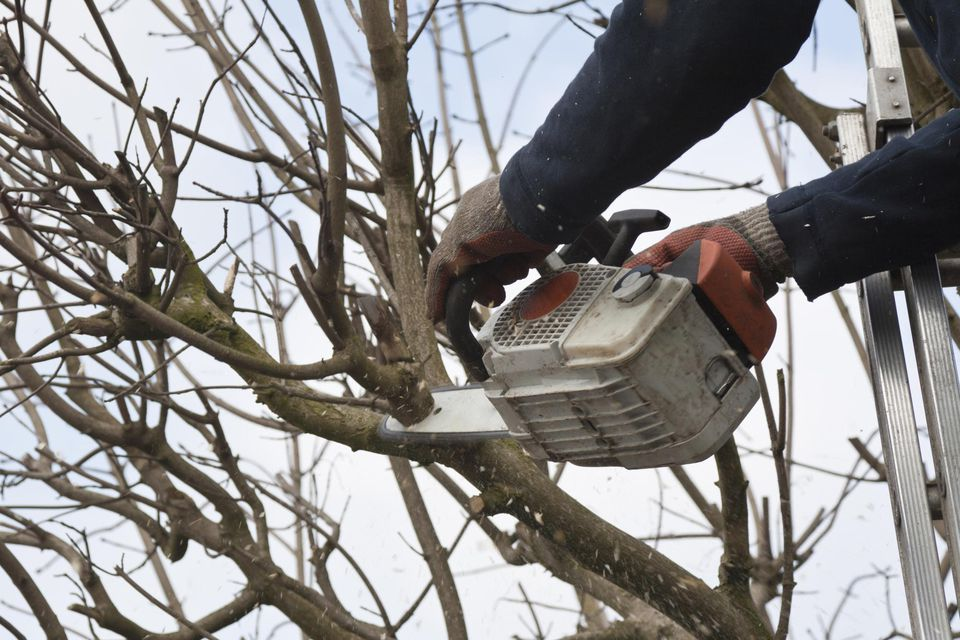 Professional pruning a tree