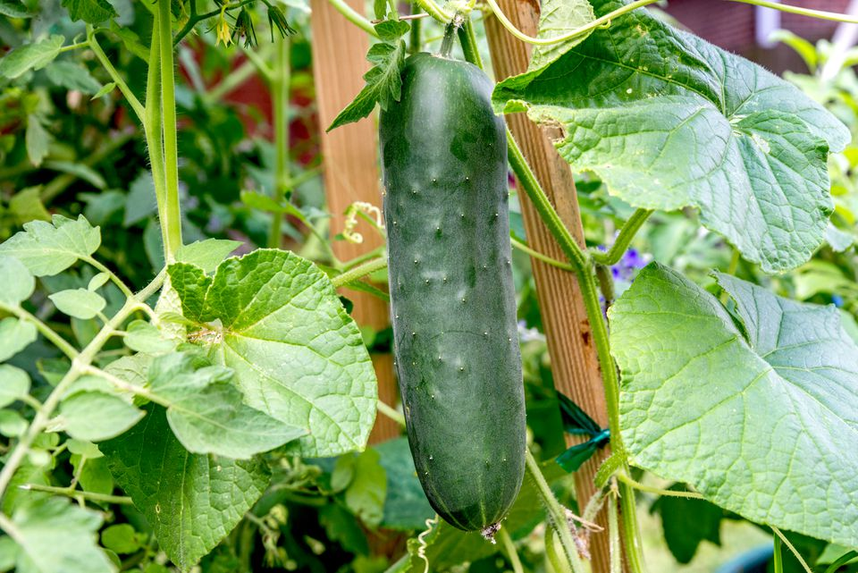 cucumber ready for harvest