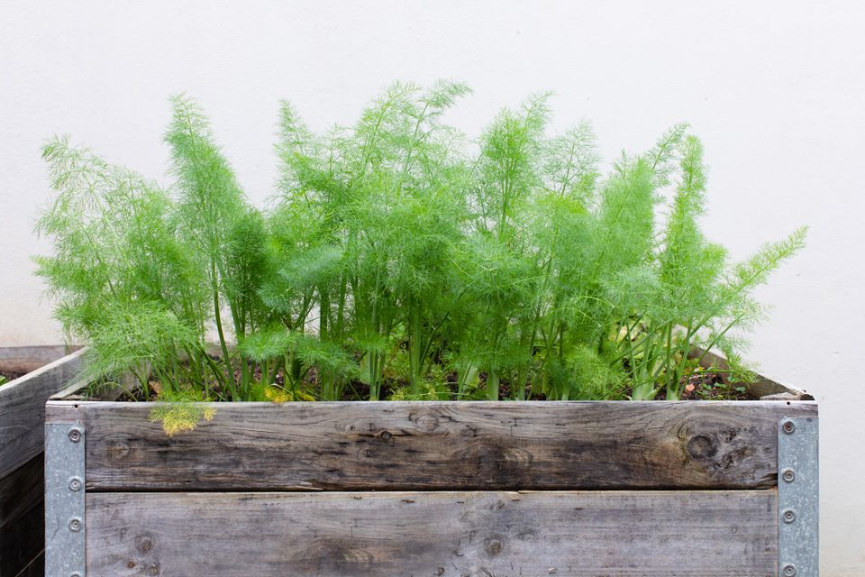 fennel growing in a container