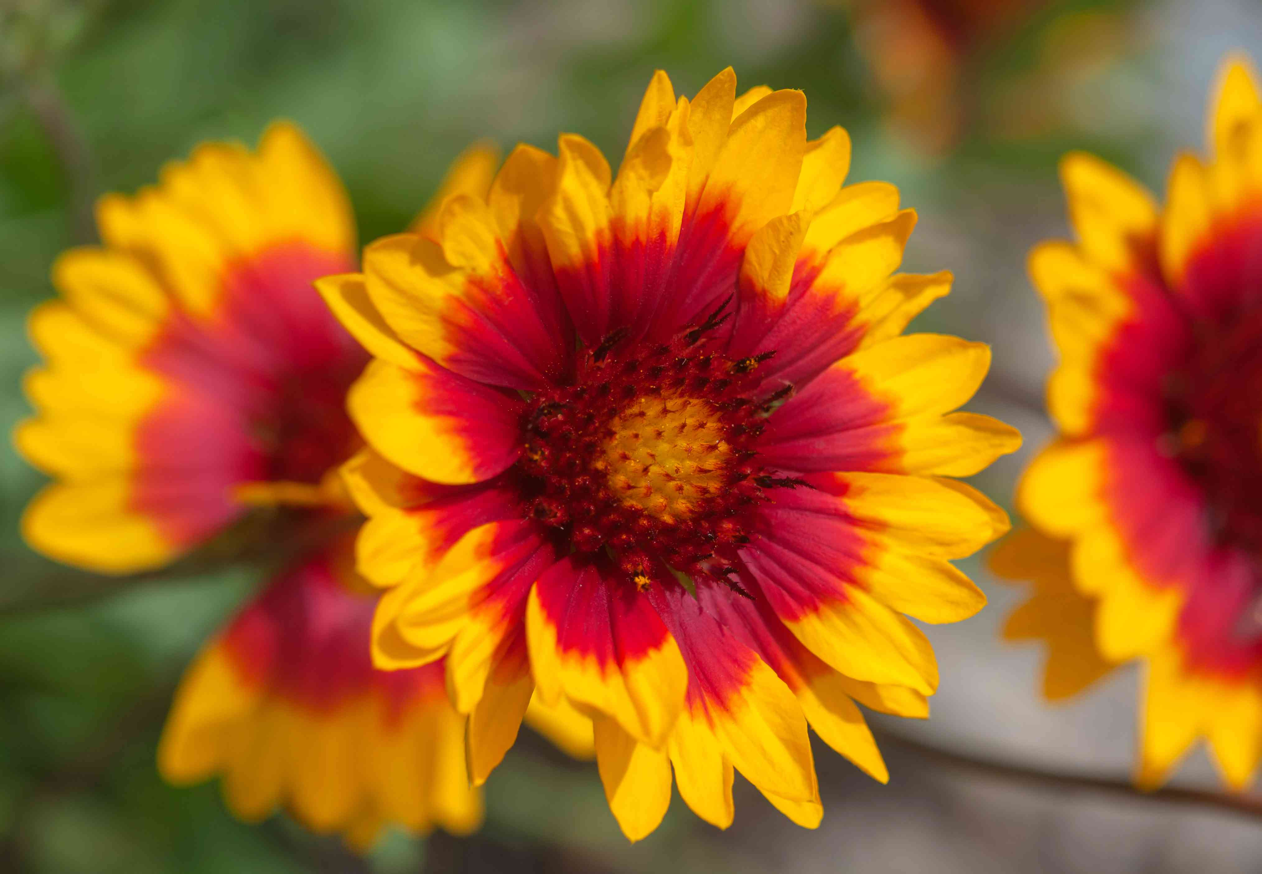 Blanket flowers with yellow and red petals closeup
