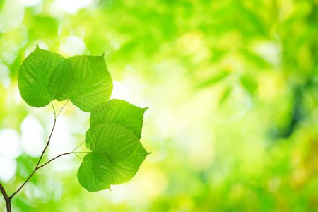 Linden Trees Feature Heart Shaped Leaves