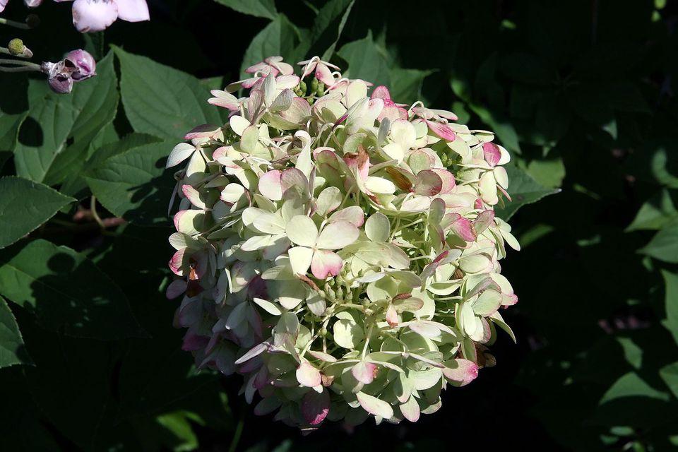 Hydrangea paniculata 'Limelight' Sieb., North Carolina Arboretum, Asheville, NC