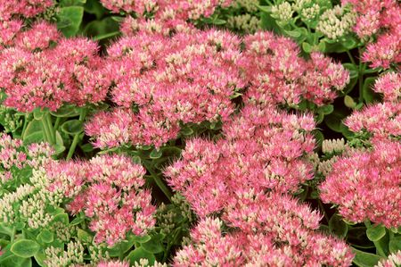Showy Stonecrop Is An Easy Garden Standout
