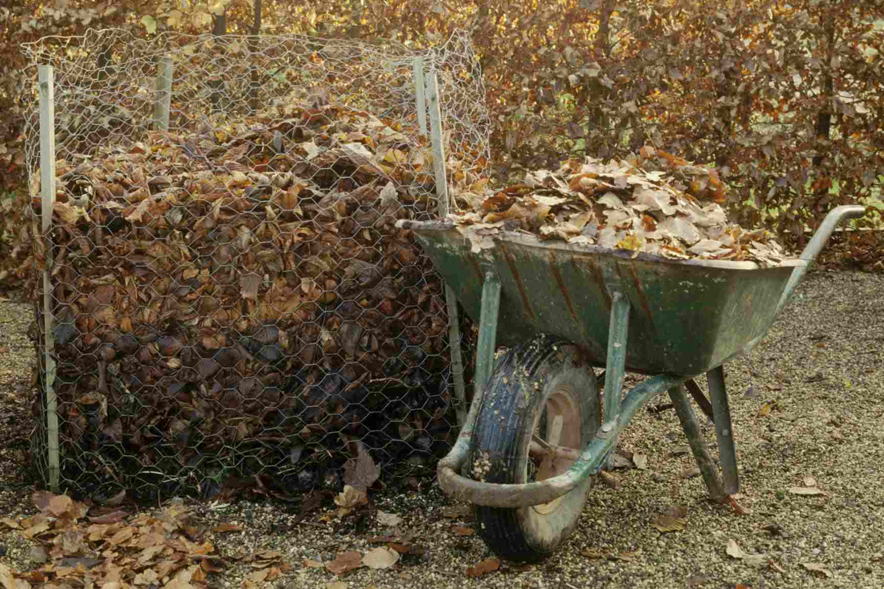 Composting leaves to make leaf mould, wheelbarrow of autumn leaves beside compost bin made of chicken wire netting.