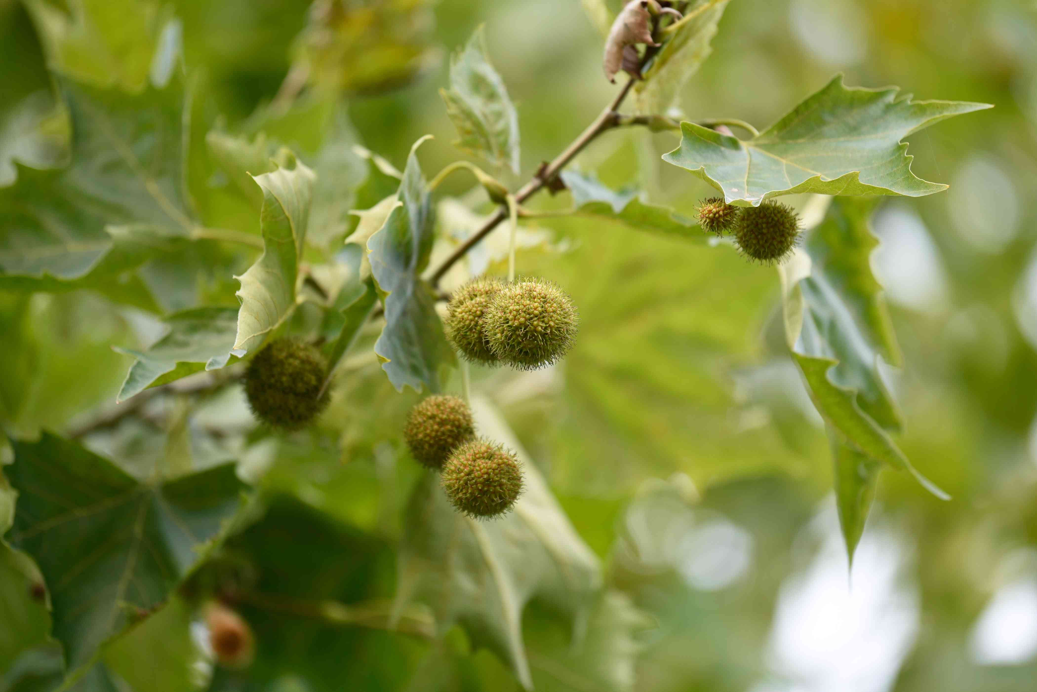 Sycamore tree branch with round fuzzy seed pods hanging near tooth-edged leaves closeup