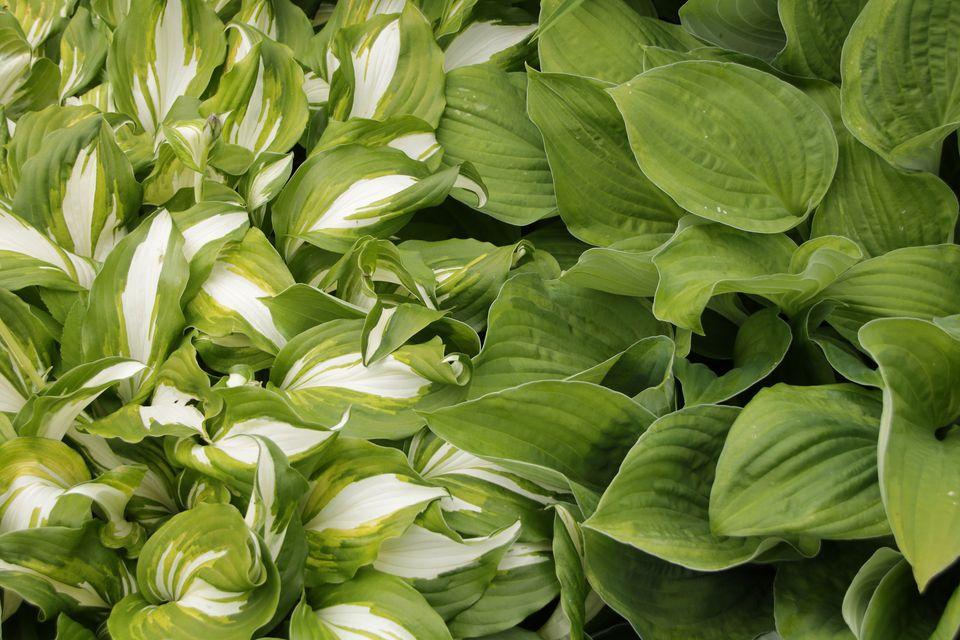 A close-up of Hostas plants