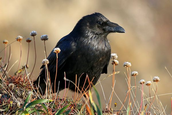 common raven in grasses