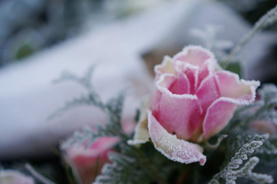 frozen rose close up