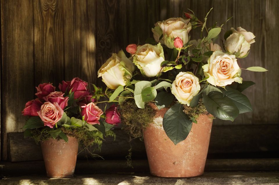 Roses growing in pots