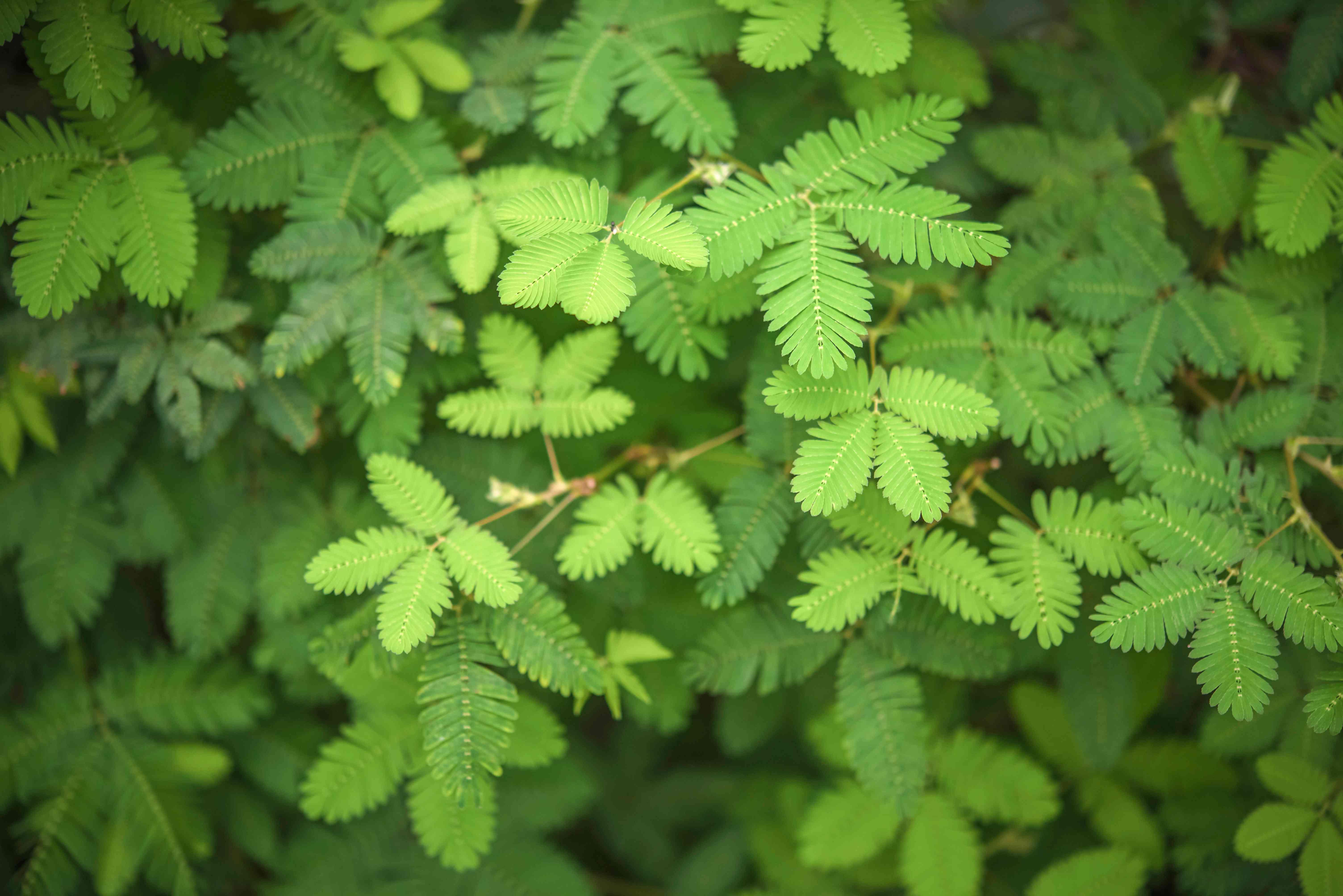 mimosa pudica leaves