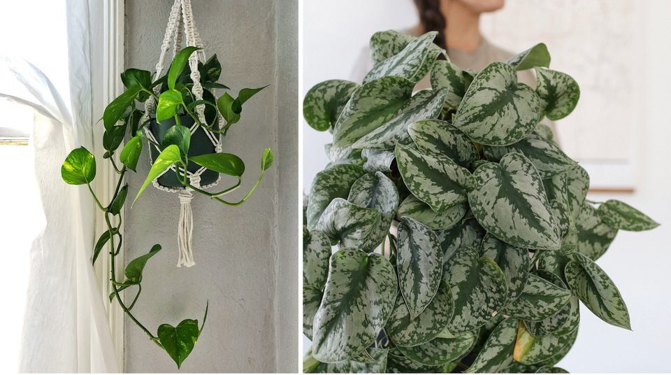 Hanging golden pothos and Scindapsus pictus exotica