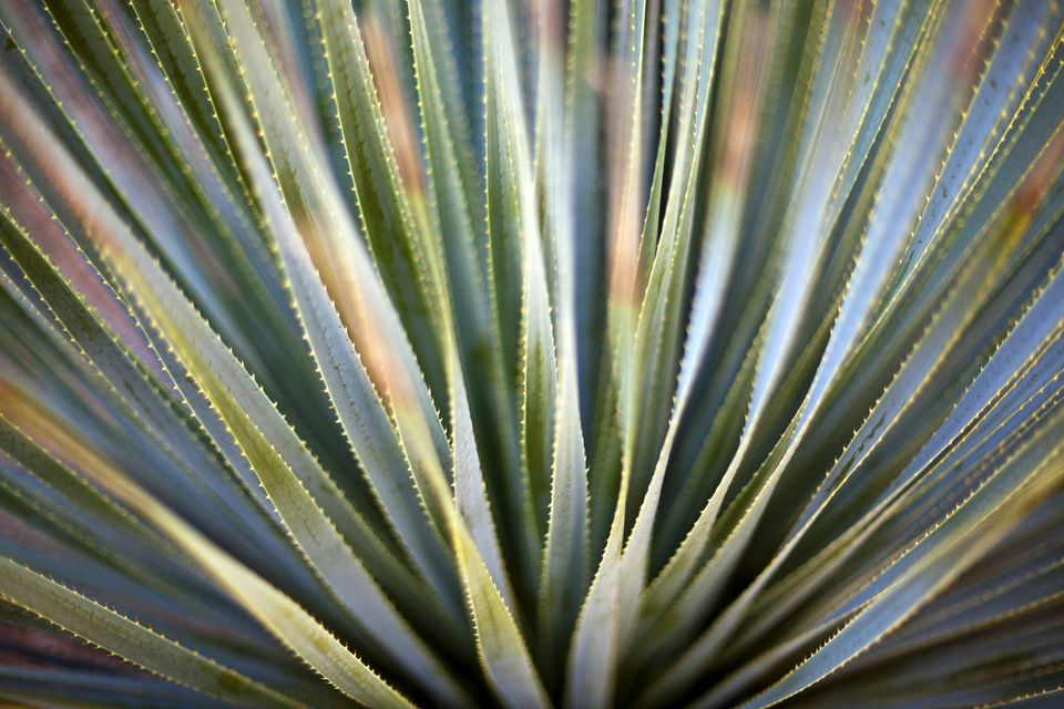 Desert Spoon (Dasylirion wheeleri) plant. Close-up photo with a shallow depth of field.