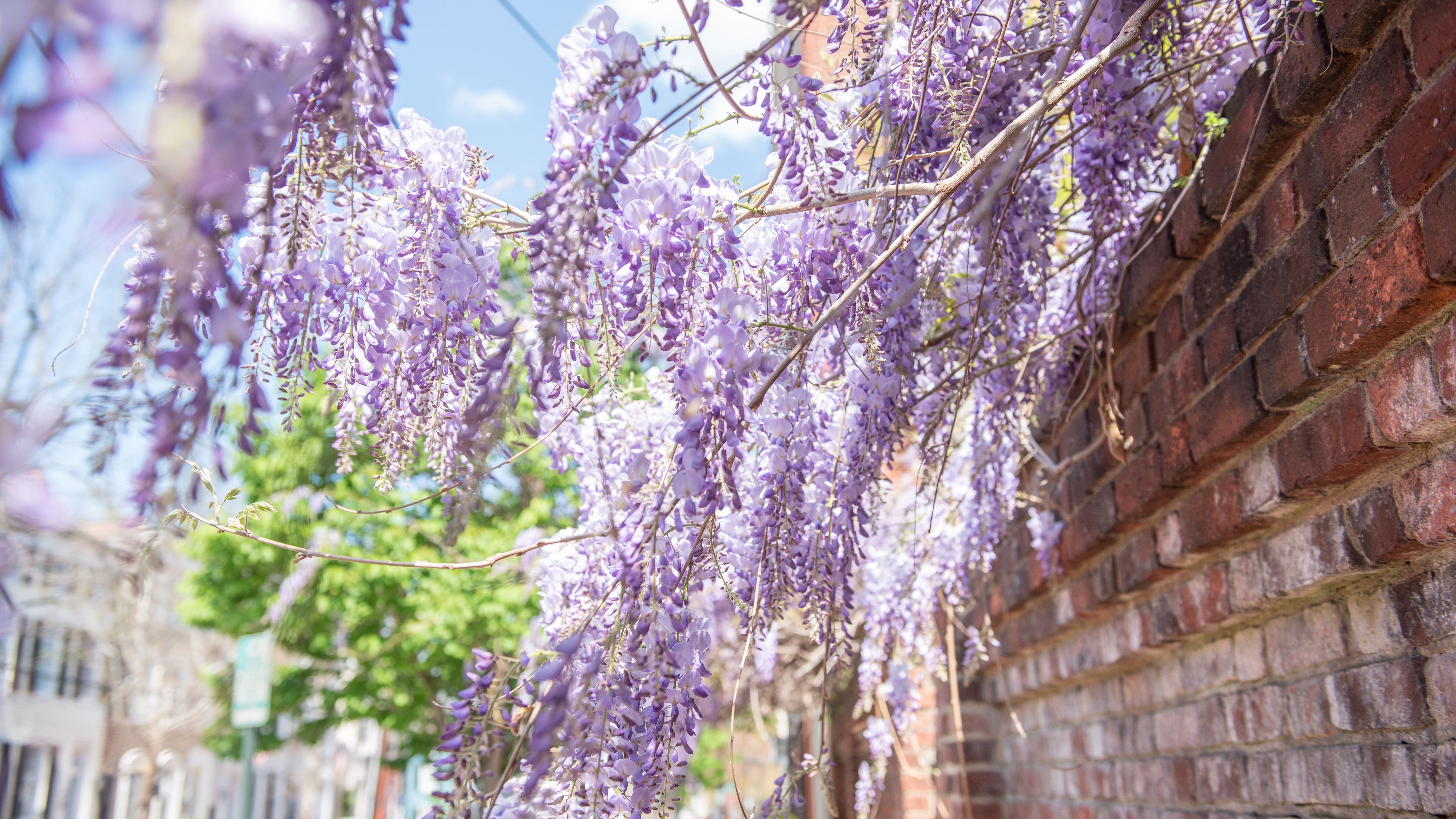 Chinese Wisteria Plant Care Growing Guide