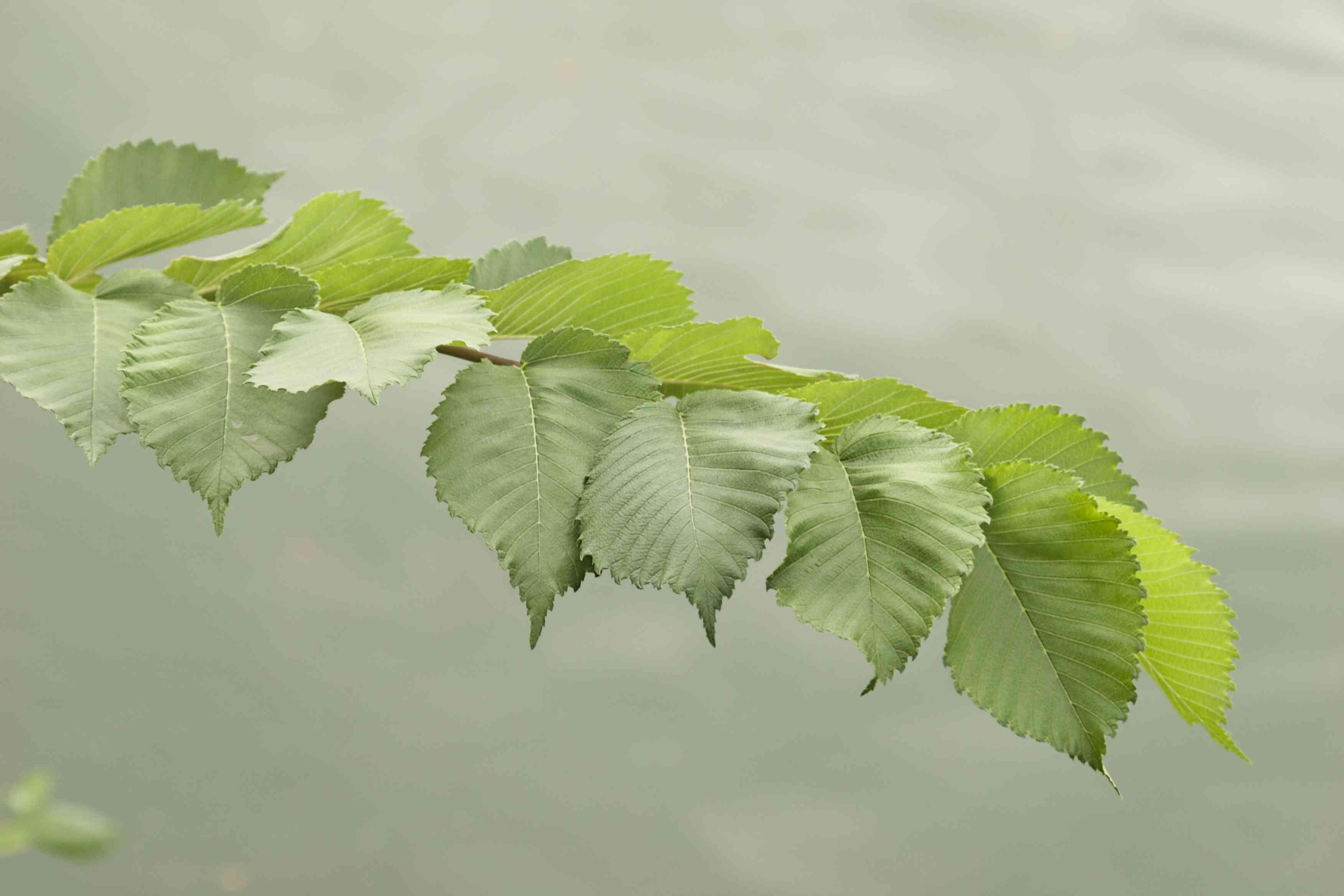 Green American elm tree branch