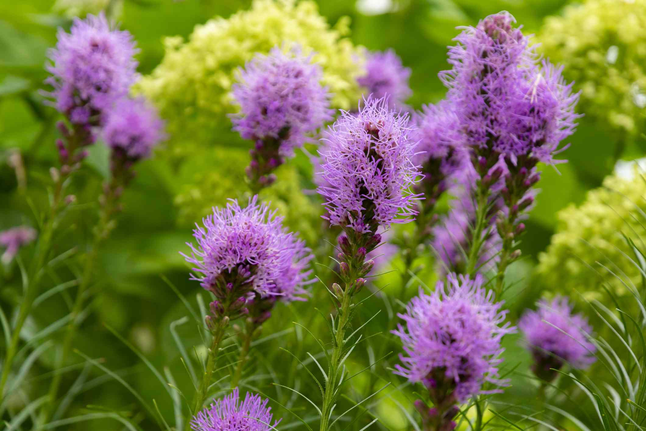 Purple Liatris spicata flowers with green leaves background, close up image. Summer flowers in Japan.