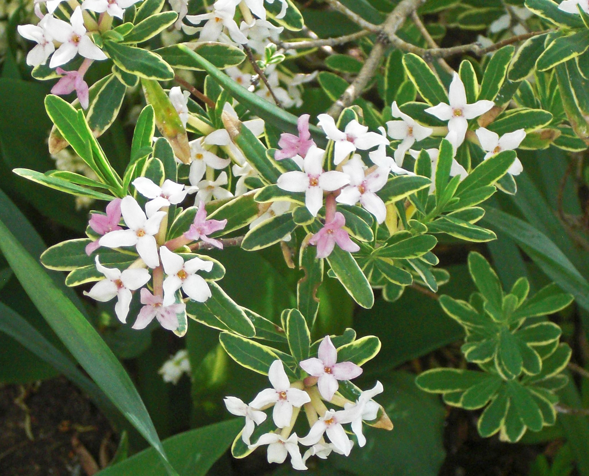 Daphne Shrubs Care And Growing Guide
