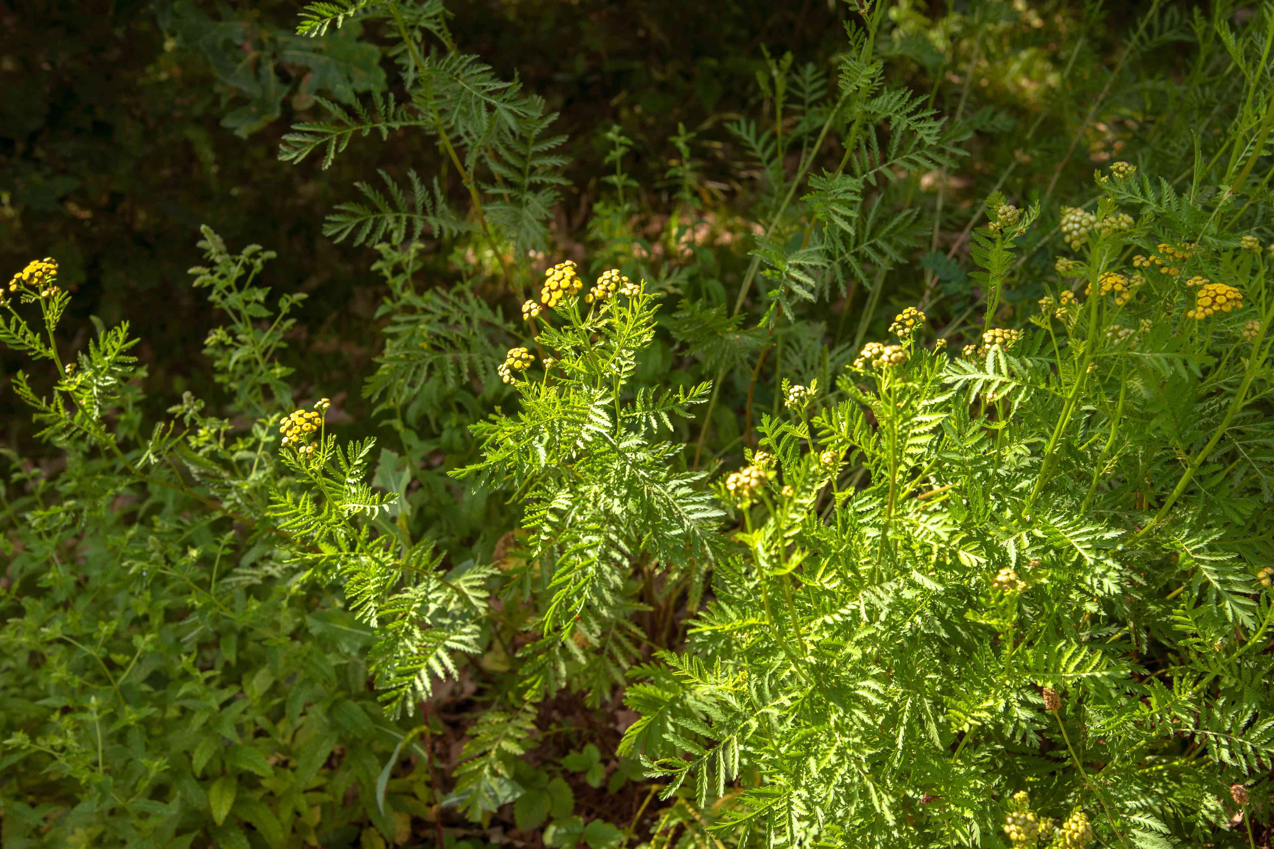 Common tansy plant with small yellow flowers on stems with fern-like leaves surrounded by foliage