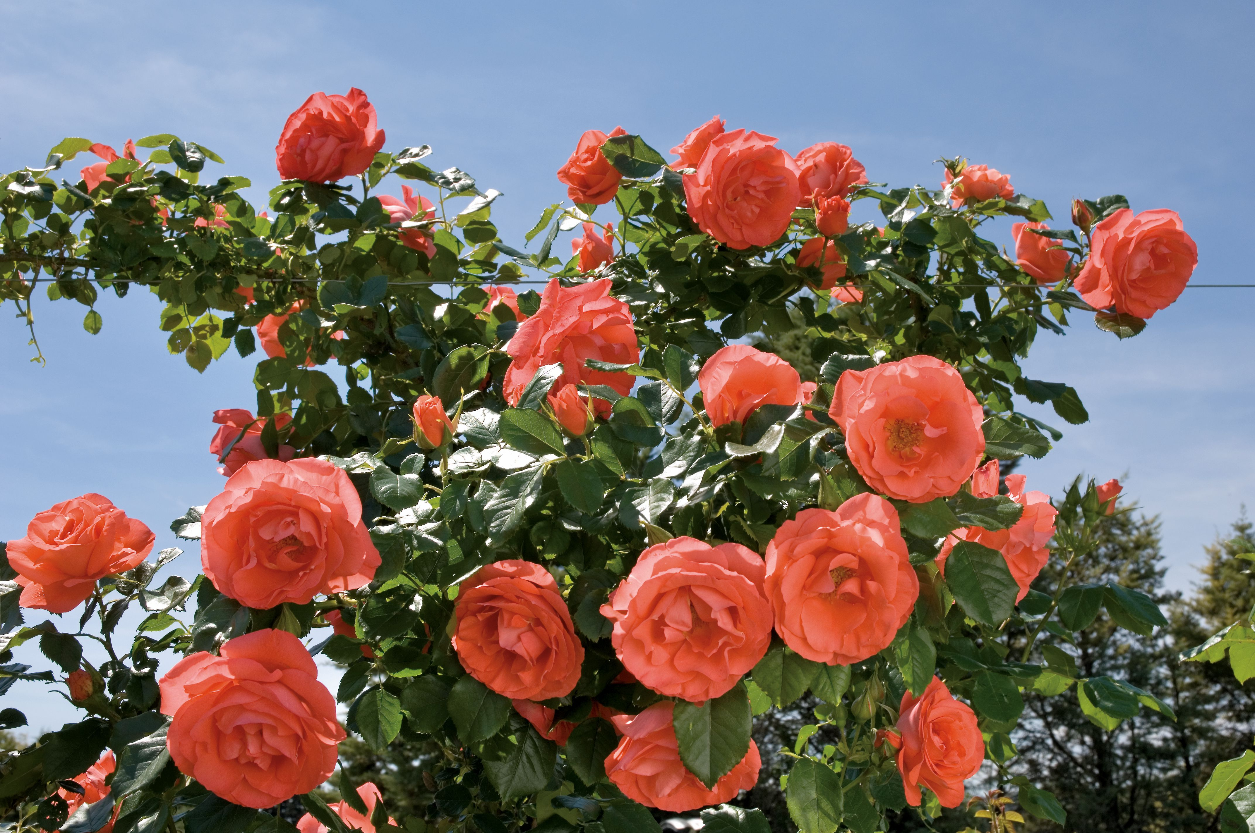 Marmalade Skies® 'Meimonblan' roses