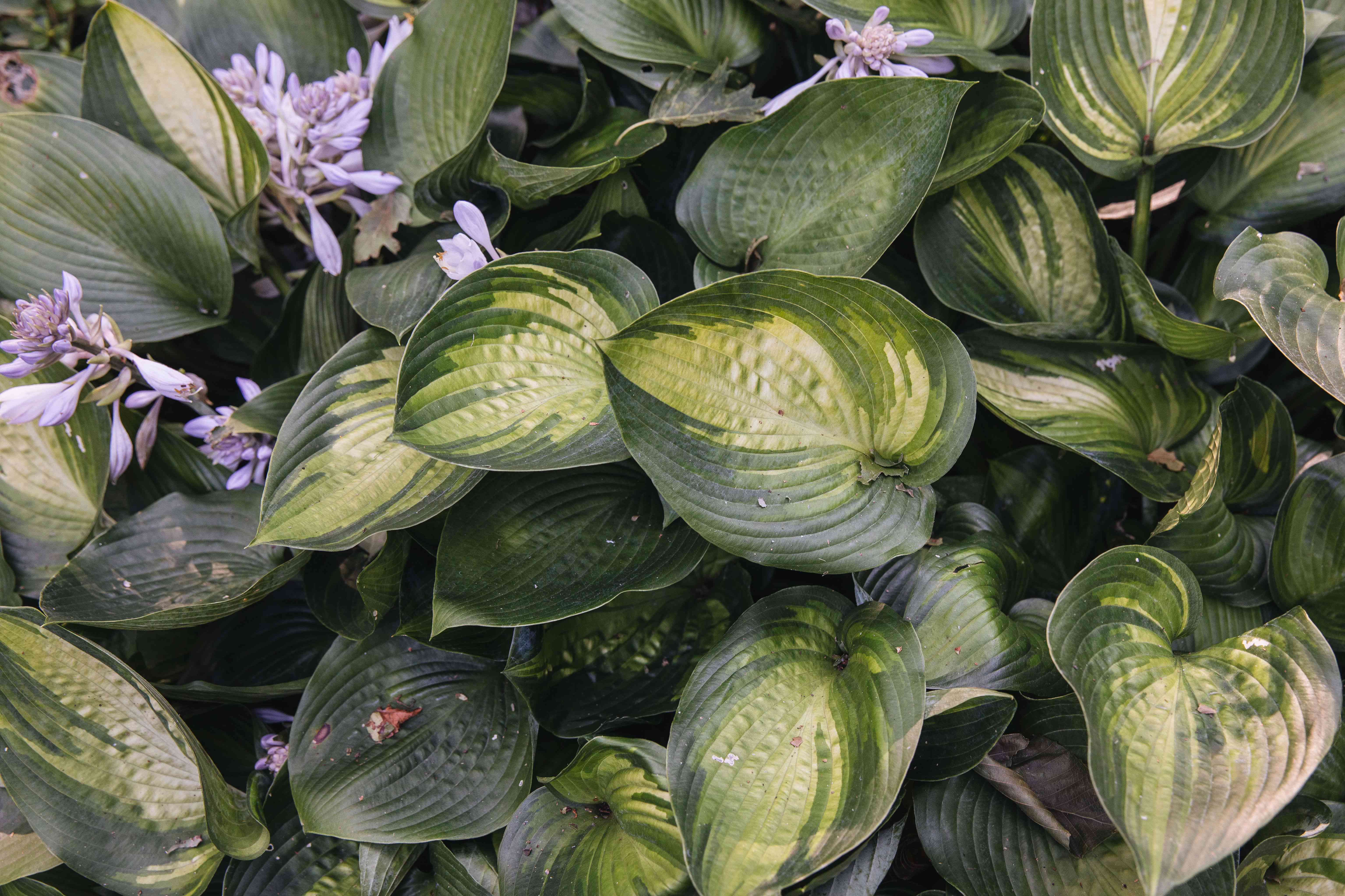 Hostas plant with lime green variegated leaves clustered on top of each other