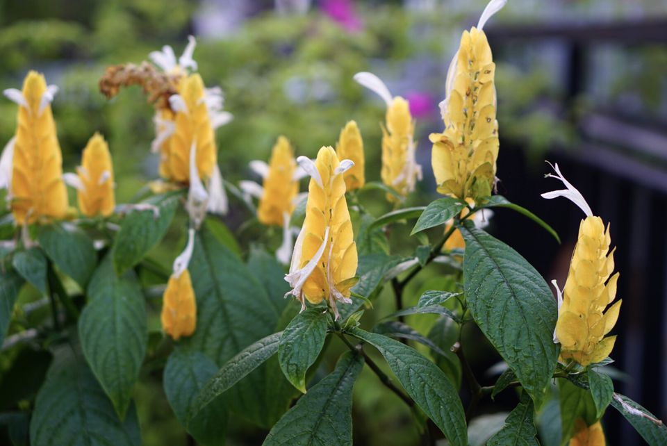 Golden shrimp plants with yellow cone-shaped stamen and small white flowers