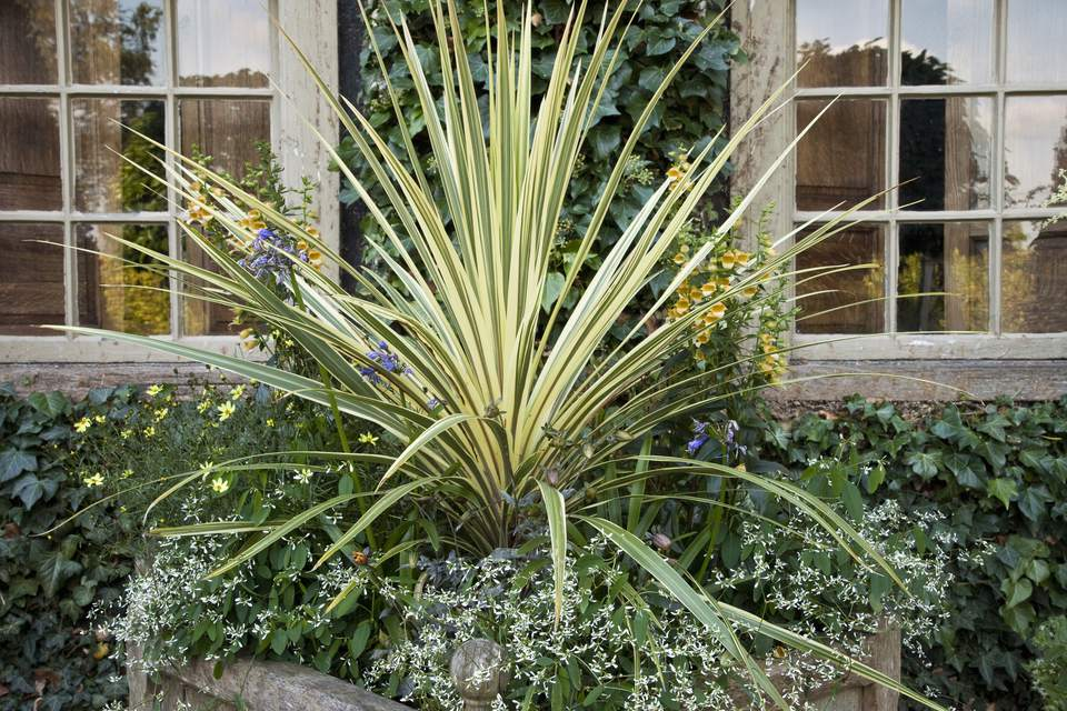 Variegated New Zealand flax (Phormium) 'Yellow Wave' in stone planter, September