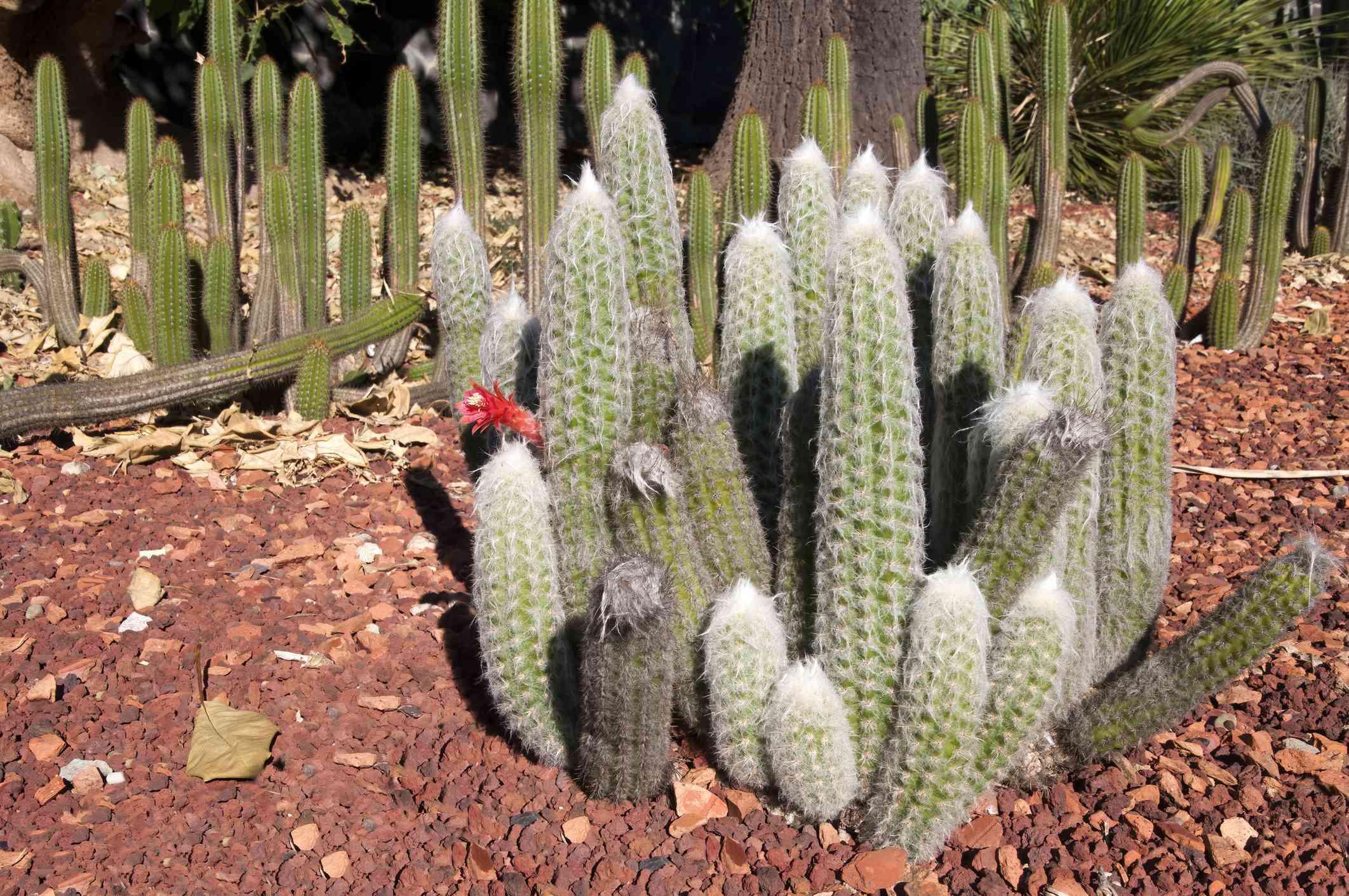 Flowering touch cactus in garden