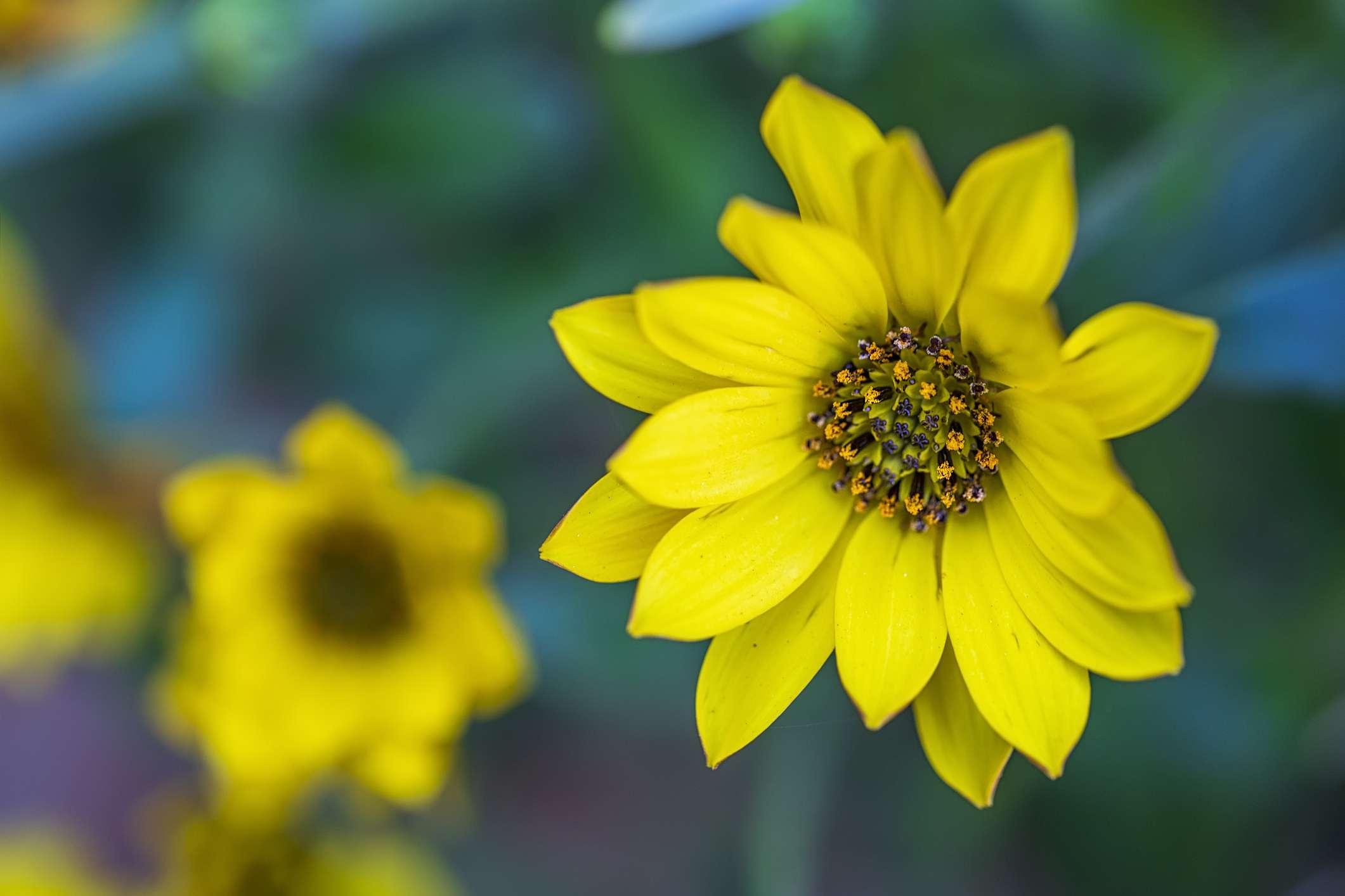 Maximilian Sunflower - Helianthus maximiliani