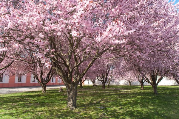 Purple leaf sand cherry tree with pink flowers in rows