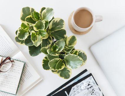 adjacent peperomia plants on a desk