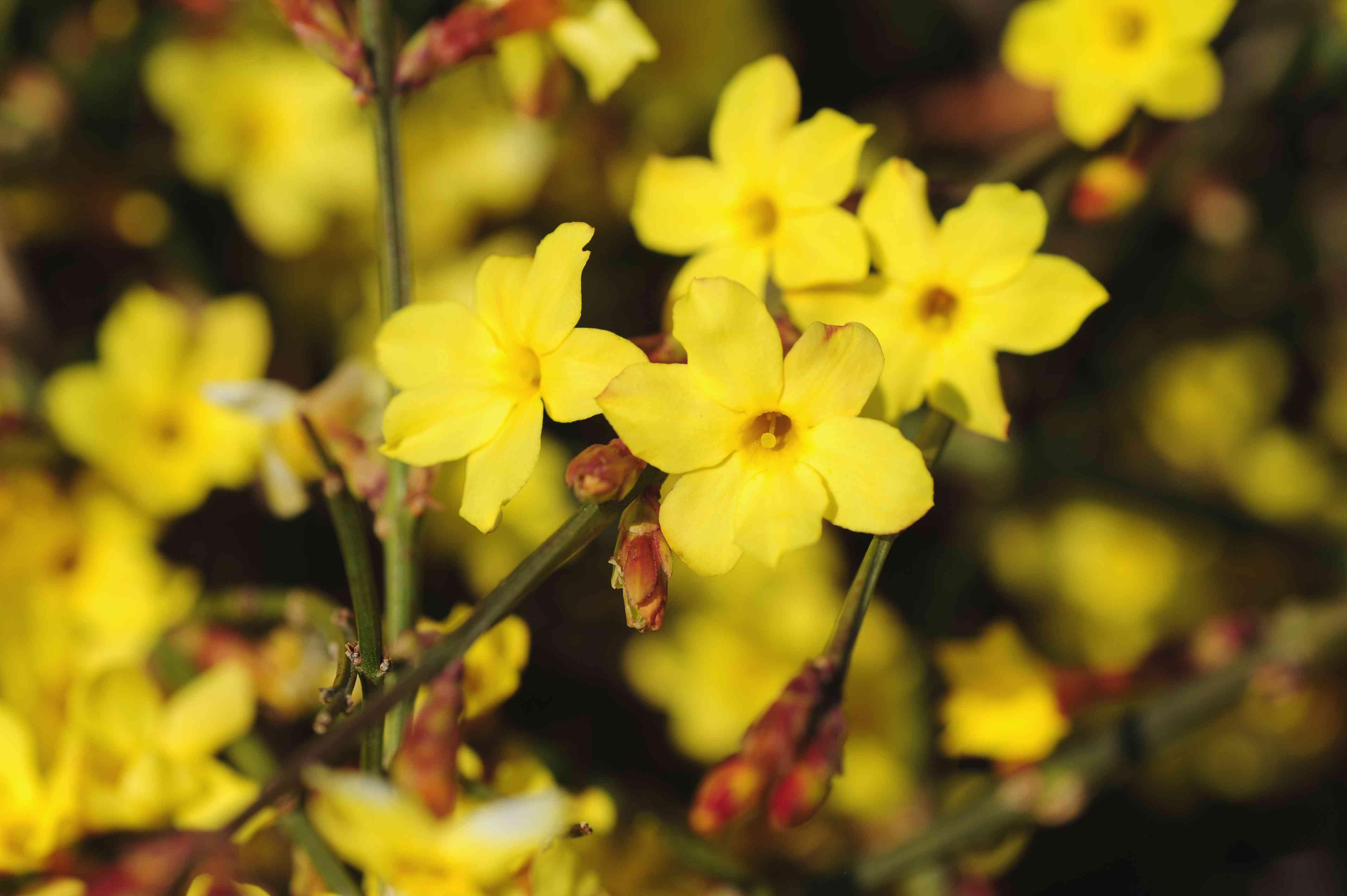 Winter jasmine yellow flowers and buds on vine closeup