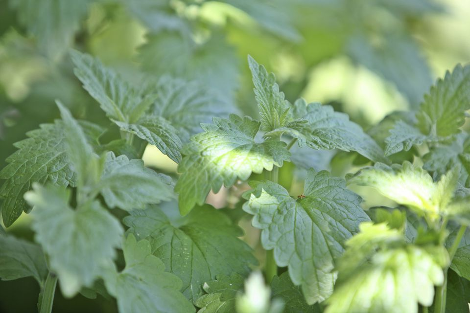 Closeup of catnip plant growing outdoors.