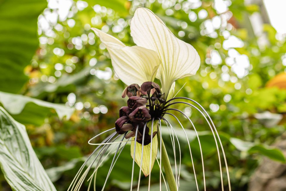 Black bat flower plant with large white leaves above small maroon flowers and white bracteoles closeup