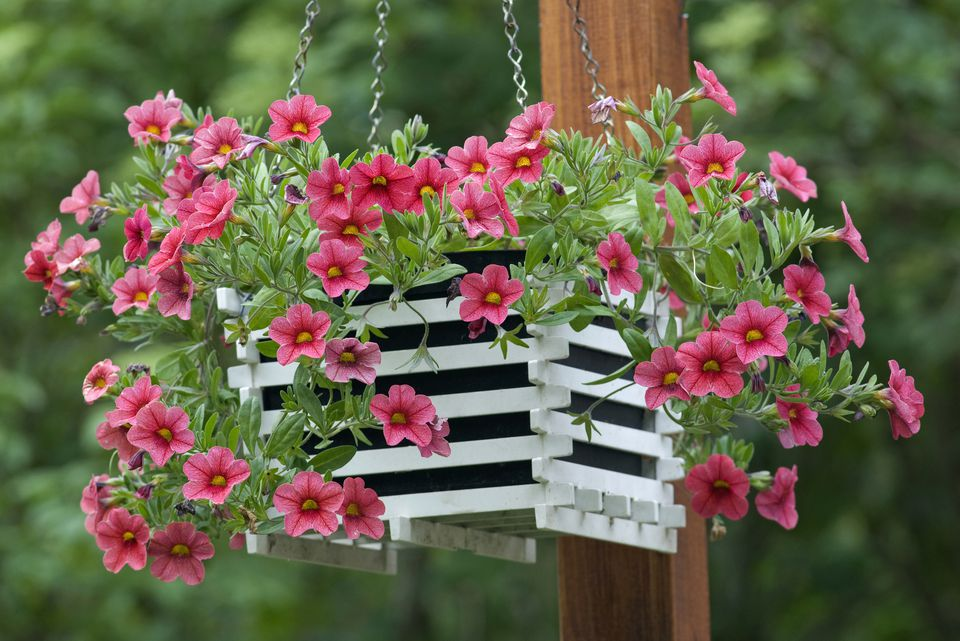 Hanging basket with trailing petunias (Calibrachoa) 'Million Bells'