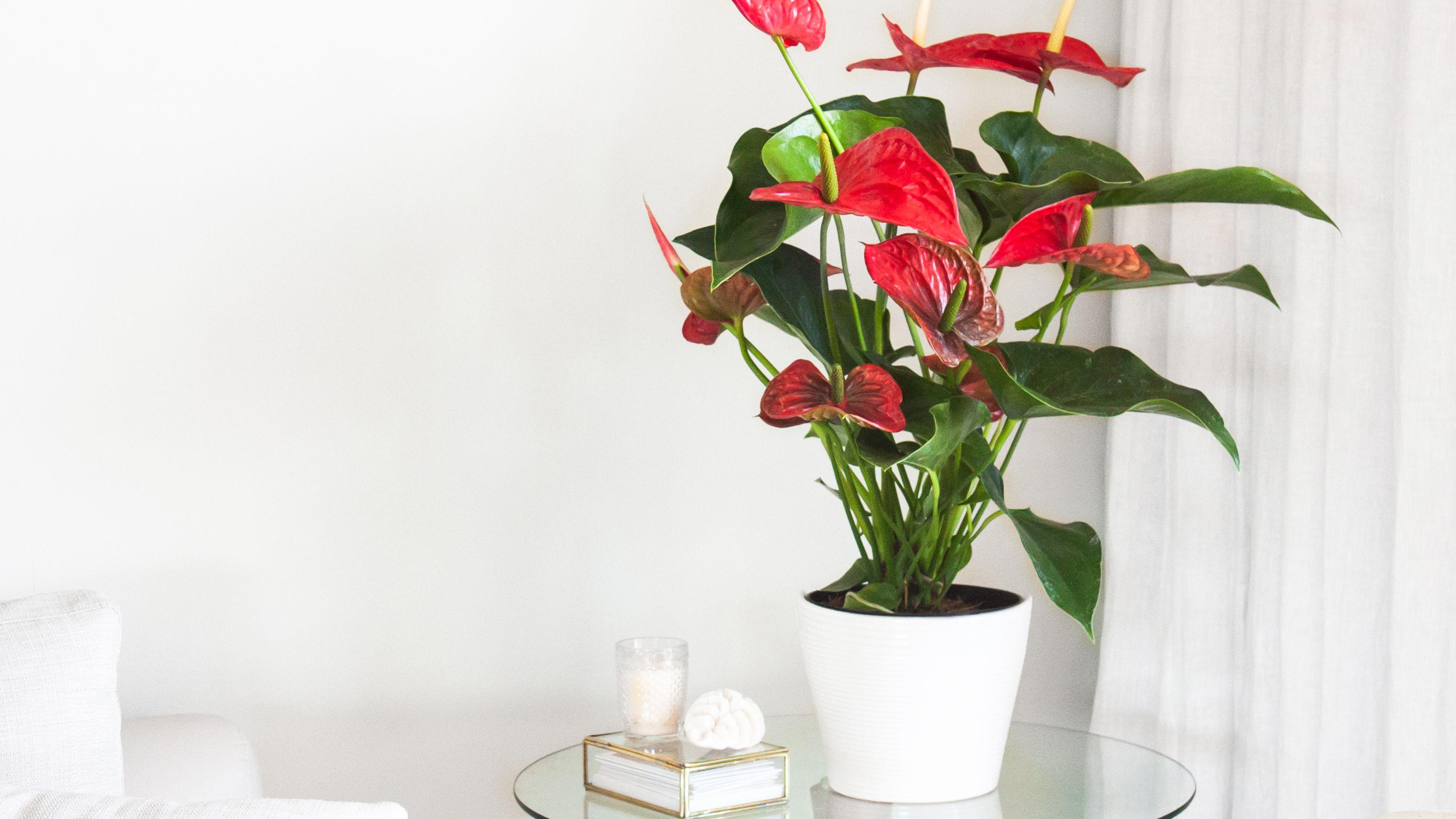 romantic gifts- Anthurium