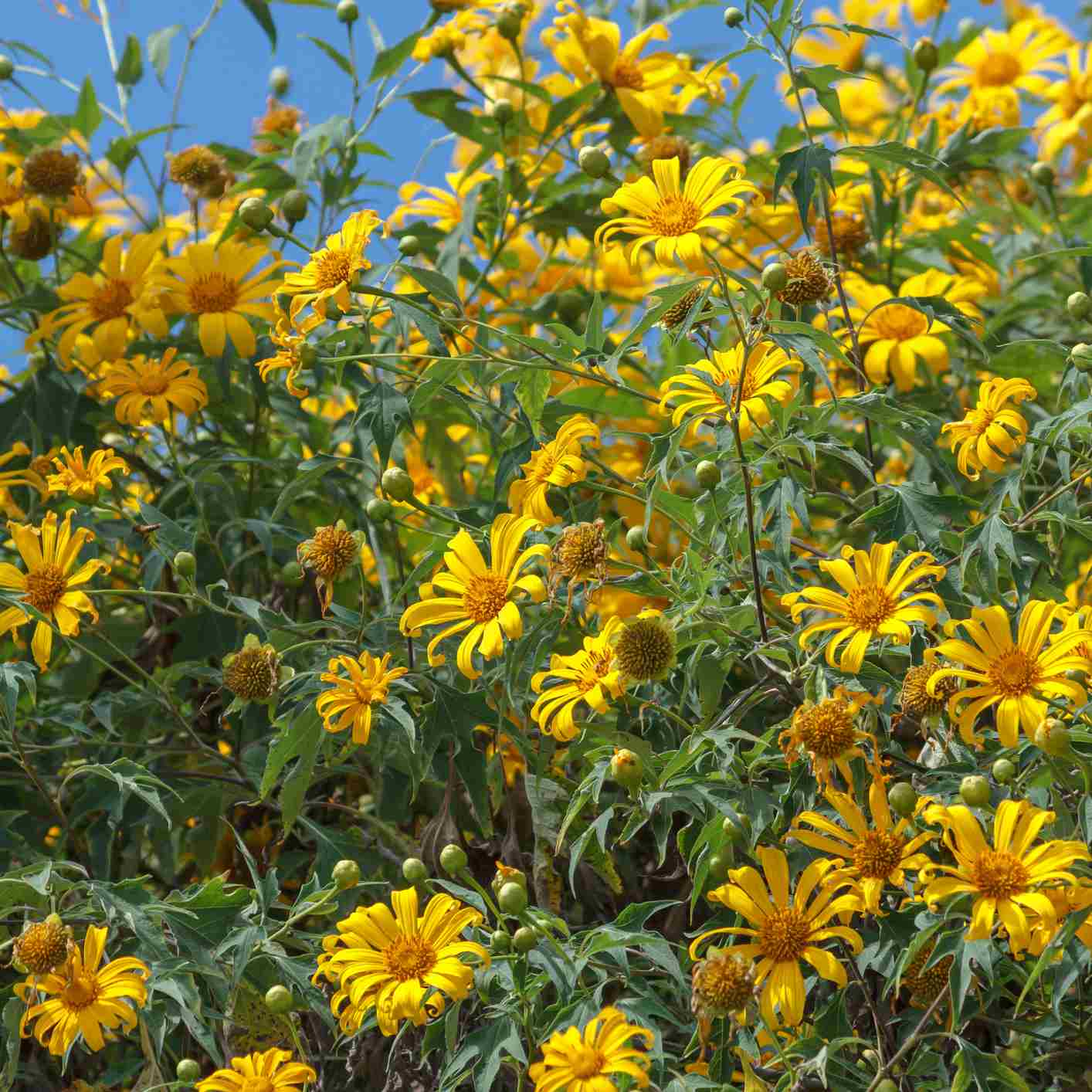 Mexican Sunflowers Care And Growing Guide