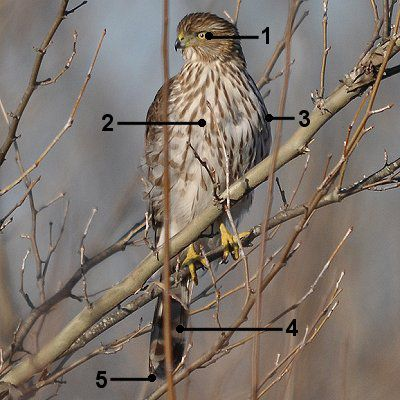Juvenile Cooper's hawk sitting on a tree branch with identifying numbers 1 through 5 on it.