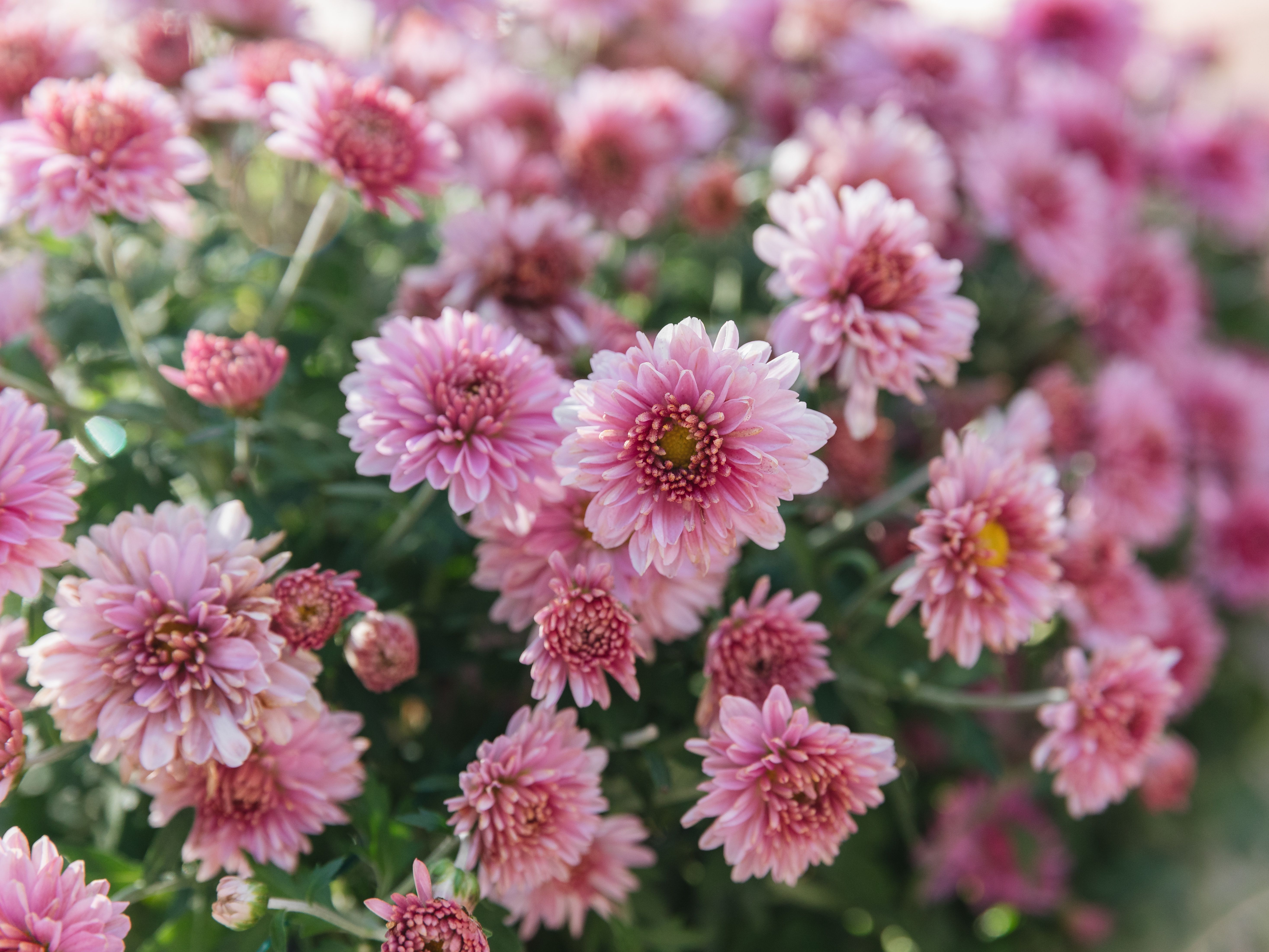 Hardy Chrysanthemums Garden Mums Plant Care Growing Guide