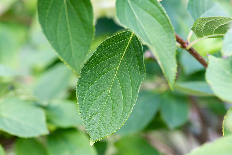 peegee hydrangea leaf detail