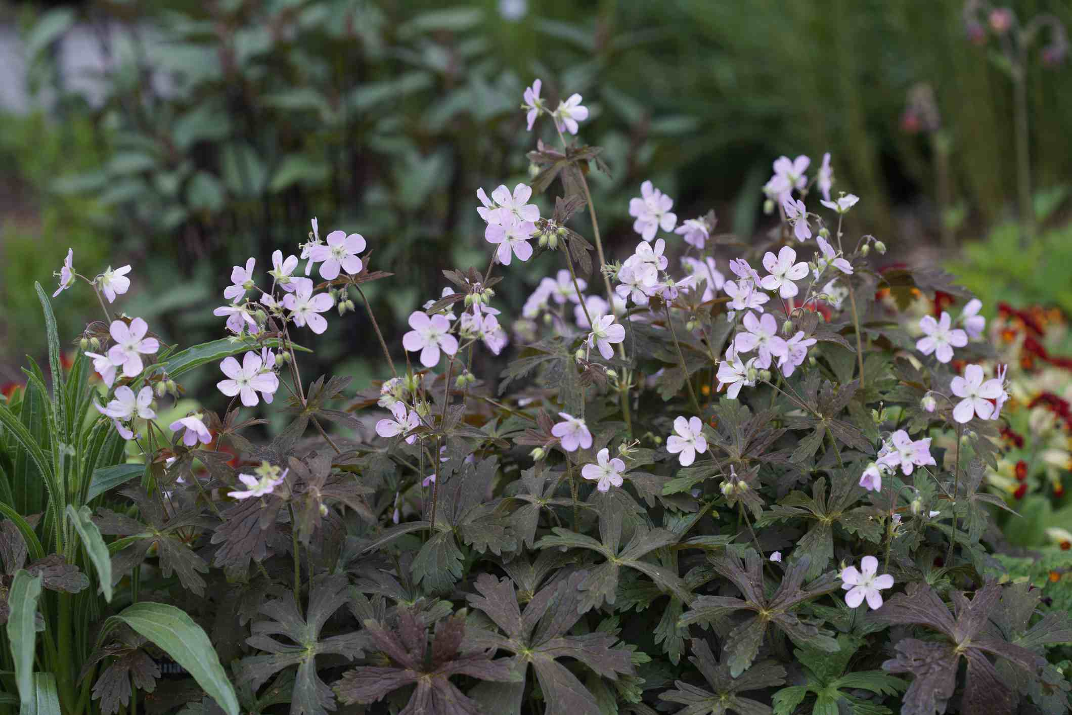 'Espresso' geranium with lavender flowers